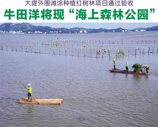 """牛田洋大堤外围滩涂种植红树林项目打造""""海上森林公园"""""""