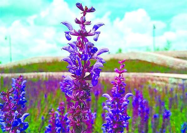 城区新植近万平方米鼠尾草薰衣草 主要分布在沿江及群力各大公园