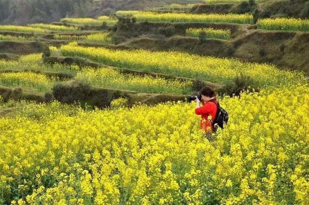 """许昌这儿的万亩油菜花已开成""""海"""",不看你会后悔的!"""