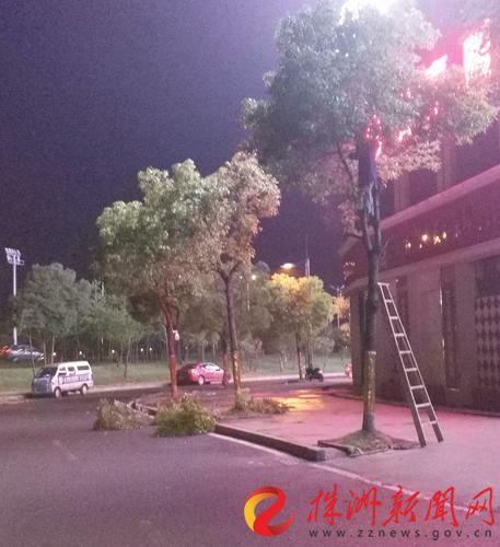 """株洲天元区东平路边行道树为何一夜之间""""消瘦""""了"""