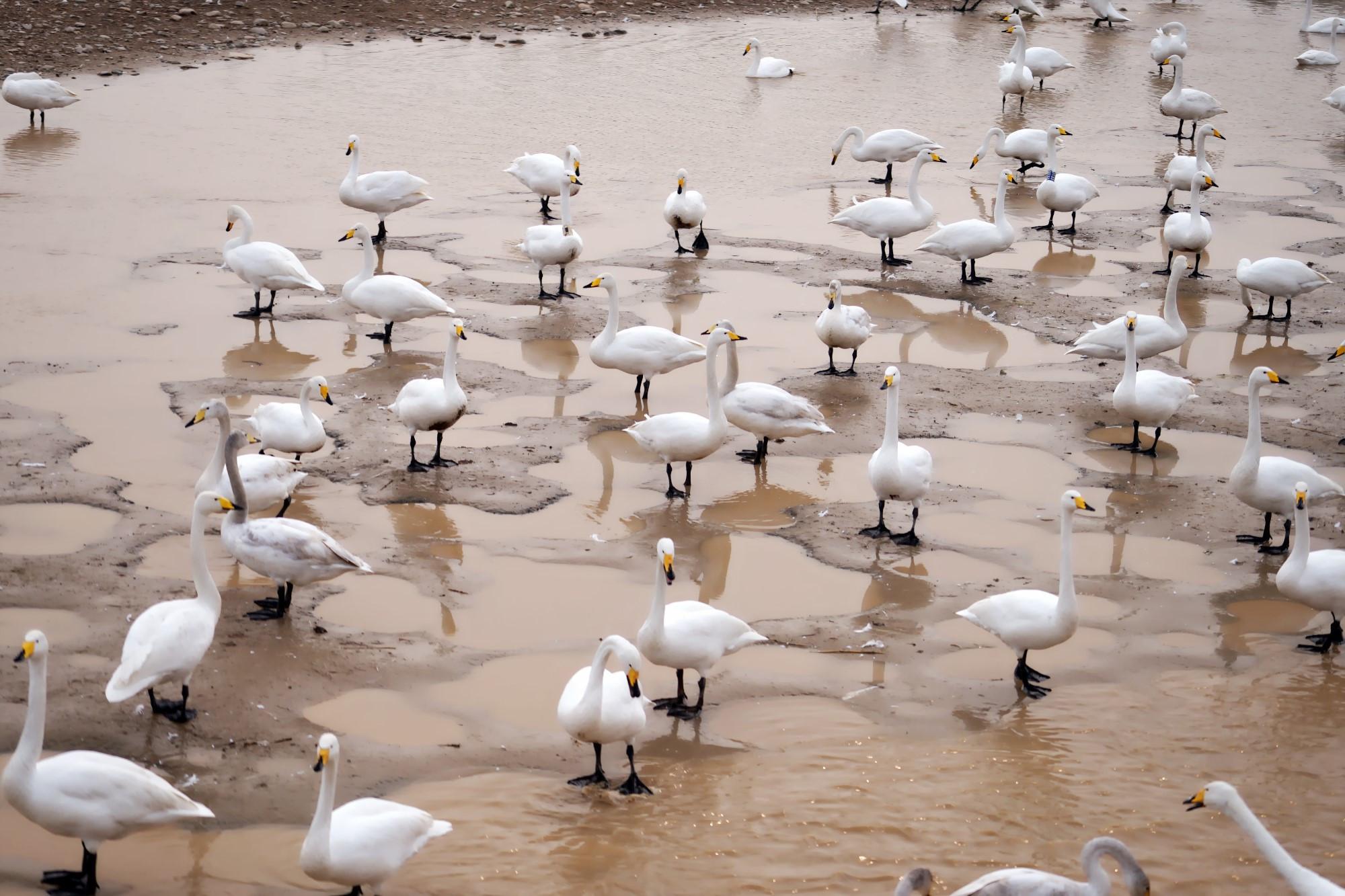 三门峡天鹅湖上万只野天鹅落脚,免费让游人欣赏