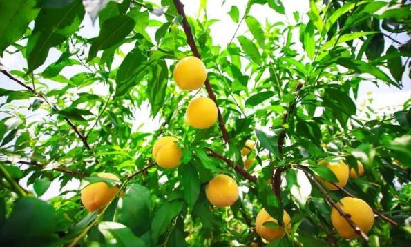 炎陵黄桃在广东隆重上市 首次进入珠三角