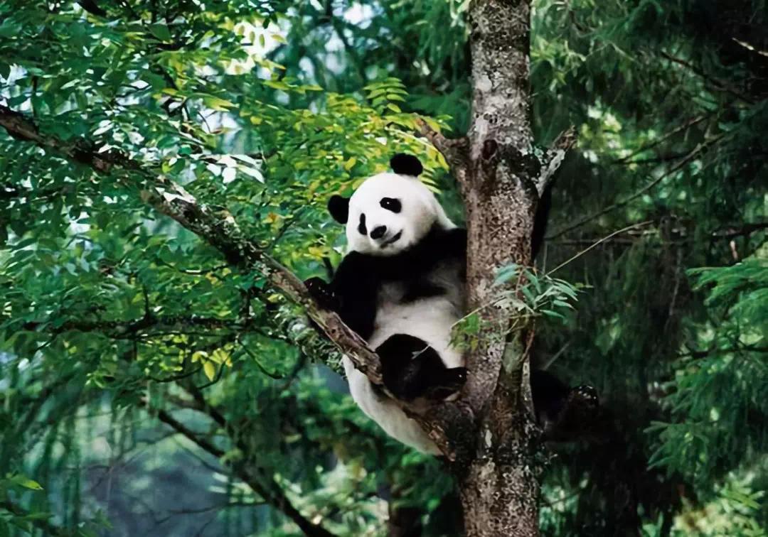 """复华文旅打造成都""""大熊猫·国际生态旅游度假区"""""""