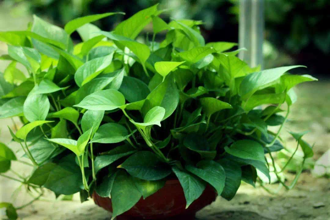 全德州森呼吸丨滨河花园10000盆绿植免费领