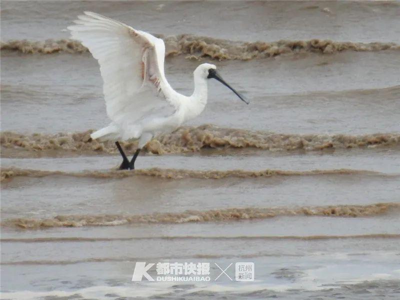 国家一级重点保护动物黑脸琵鹭现身钱塘江 它们在杭州逗留半个月