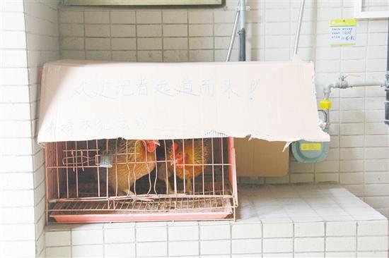 业主占用公共绿地养鸡  还给记者留言:养鸡不犯法!
